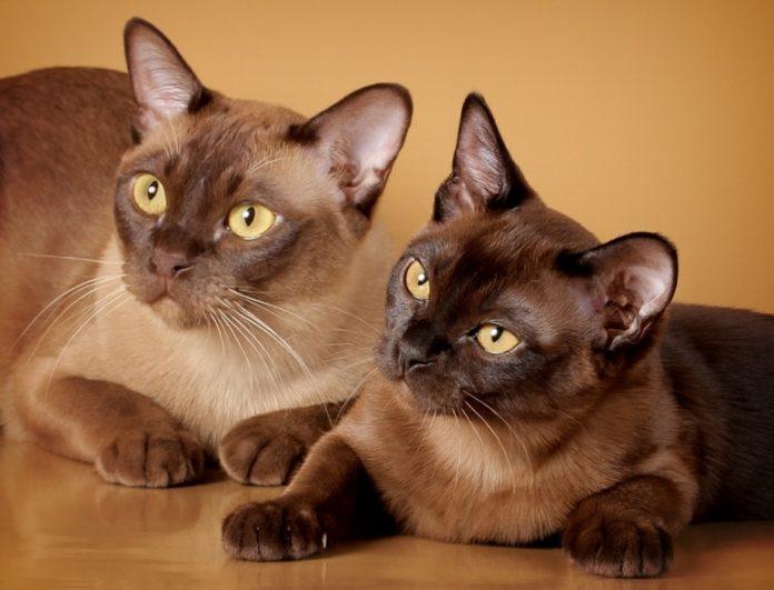 burmanske mačke