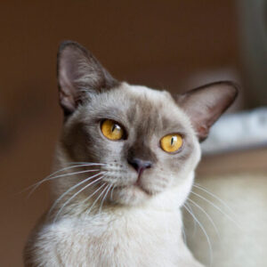 Bumanska mačka