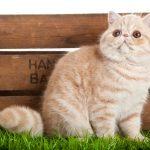 Egzotična mačka