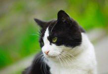 domača mačka