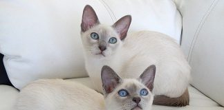 kloniranje mačaka