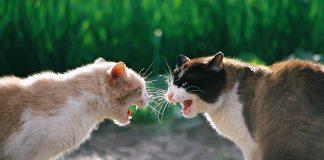 mačke se tuku