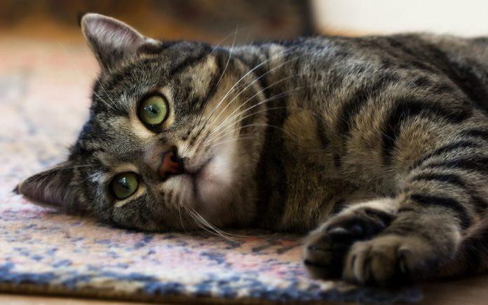 zdravlje mačke