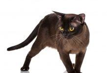 burmanska mačka