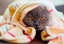 Mačja prehlada