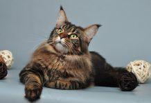 sterilizacija mačaka