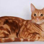 Anatolijska mačka