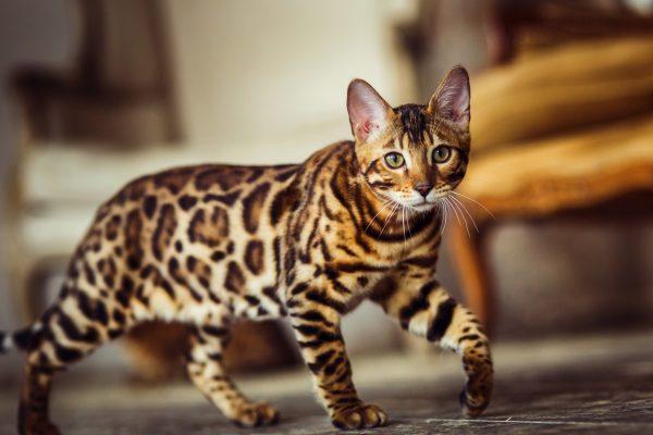 Bengalska mačka