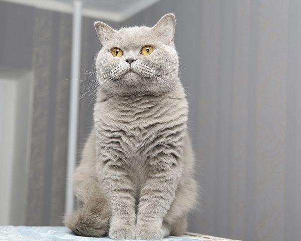 Britanska mačka