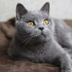 Kartuzijska mačka
