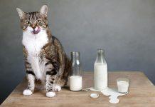 Davanje mlijeka mačkama