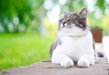 Taurin za mačke
