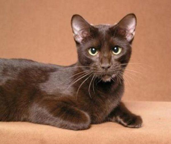 havana brown mačka