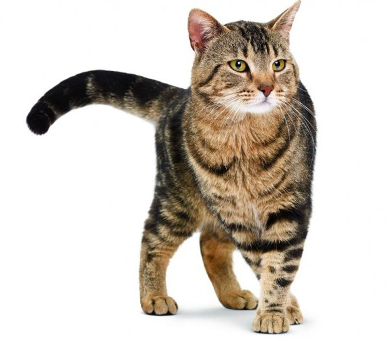 europska mačka