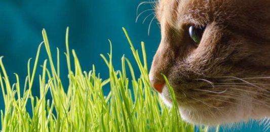 mačja trava