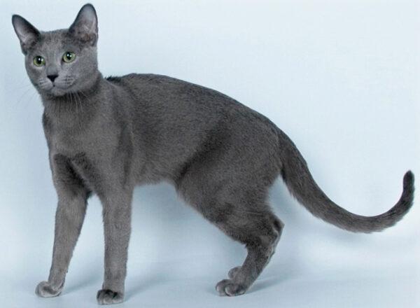 ruska plava mačka