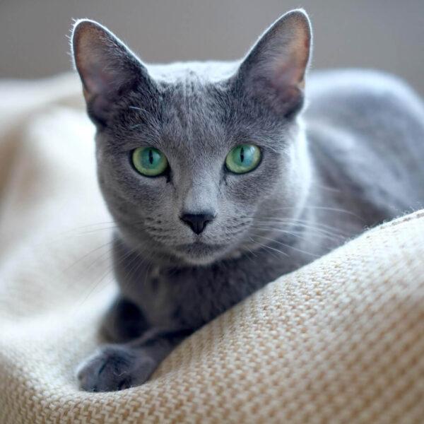 ruska plava macka