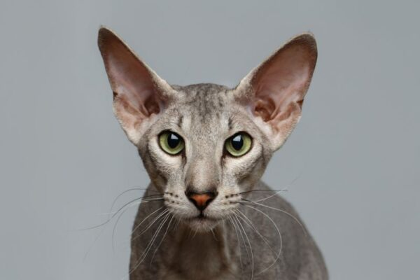 orijentalna mačka