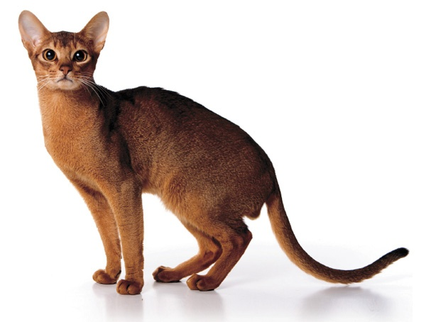 abesinska mačka