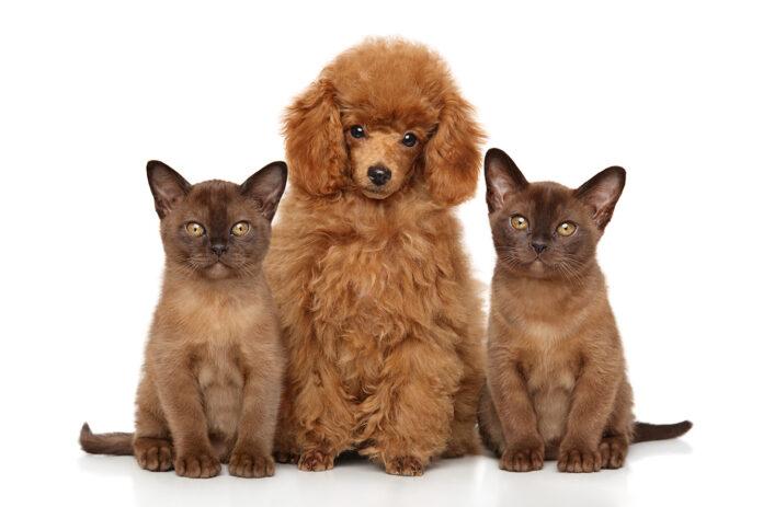 burmese cats and dog